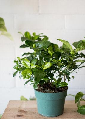 Rubiaceae Gardenia
