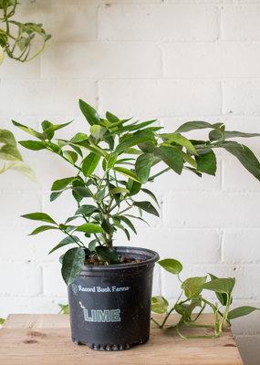 Malvaceae Citrus latifolia - Persian Lime
