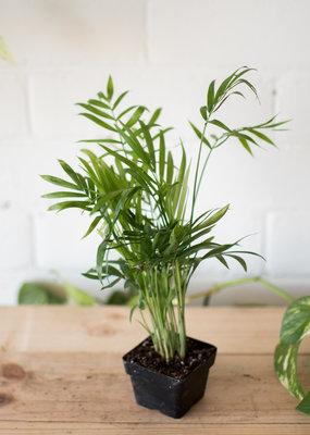 Palm Chamaedorea elegans - Parlour Palm