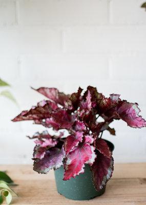 Begoniaceae Begonia rex ' Spitfire'