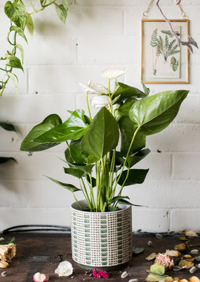 I Will Love You Till the End of Thyme  - Anthurium & Zati Plant(er) Combo