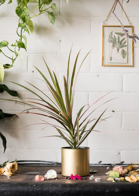 Mother of Dragons  - Dracaena & Old Gold Plant(er) Combo