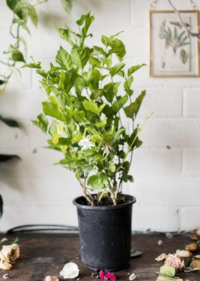 Oleaceae Jasminum sambac ' Arabian Jasmine'