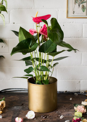 I Love You Bunches - Anthurium & Old Gold Plant(er) Combo