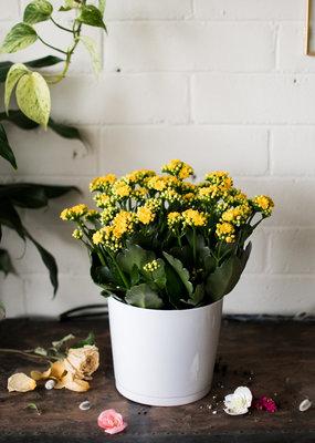 Calandiva - Yellow