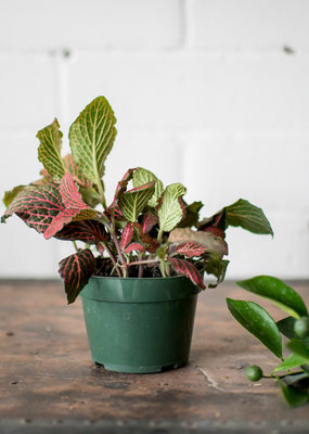 Acanthaceae Fittonia - Nerve Plant - Pink