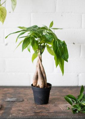 Malvaceae Pachira aquatica - Money Tree