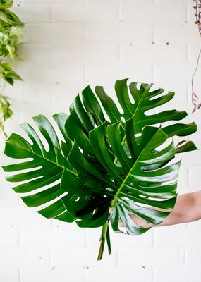Monstera - Cut Leaves