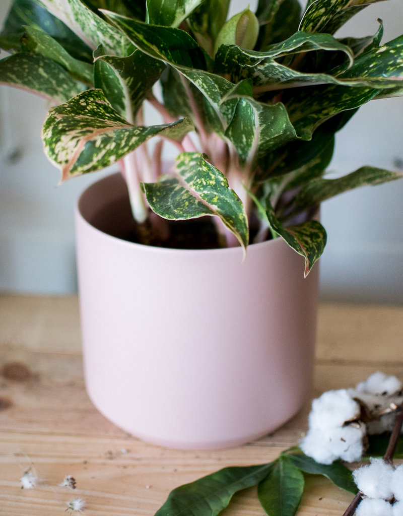 Aglaonema Frosé - Aglaonema & Kendall Plant(er) Combo