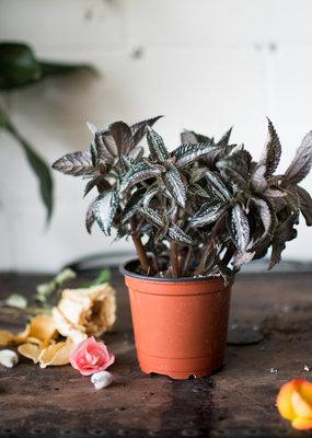 Urticaceae Pilea spruceana 'Silver Tree'