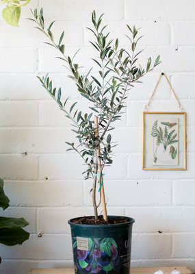 Olive Tree- PREORDER