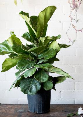 Ficus Ficus Lyrata - Fiddle Leaf Fig