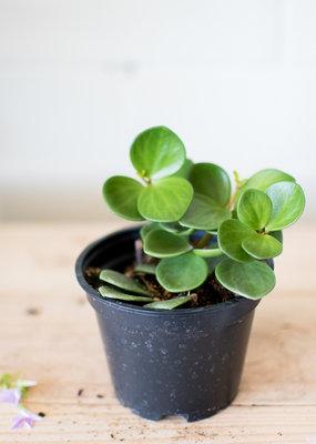 Piperaceae Peperomia rotundifolia - Hope
