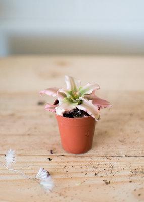 Bromeliaceae Cryptanthus - Pink