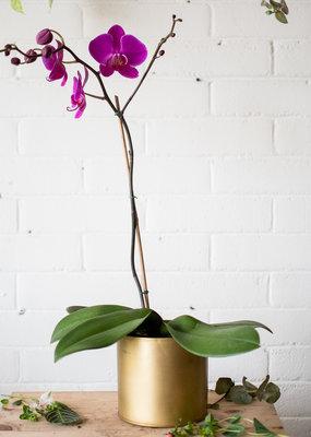Paradise Found - Phalaenopsis Orchid Large & Bryant Combo