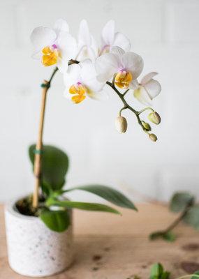 La Dolce Vita - Mini Phalaenopsis Orchid  & Cache-Pot Combo