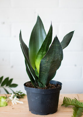 Sansevieriaceae Sansevieria trifasciata 'Hahnii' - Black Dragon