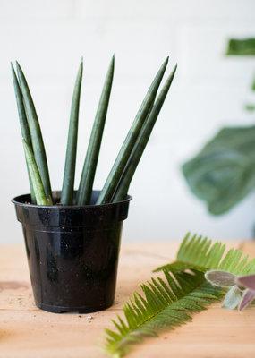 """Asparagaceae Sansevieria cylindrica - """"African Spear"""""""