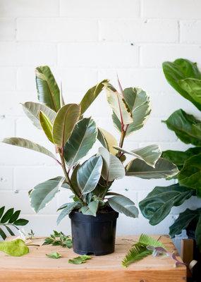 Ficus Ficus elastica - Tineke