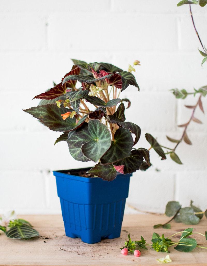 Begoniaceae Begonia 'Sparks Fly'