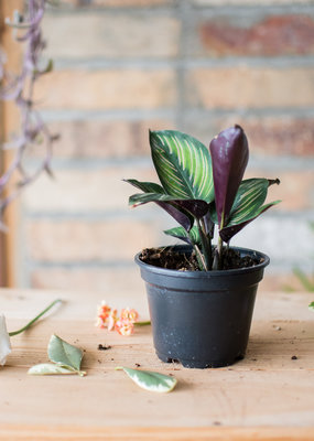 Marantaceae Calathea - Beauty Star