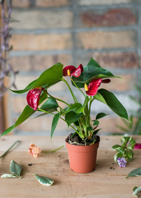 Anthurium Anthurium andreanum - Red