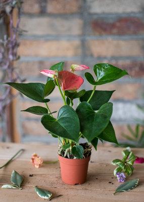 Arums Anthurium andreanum - Pink