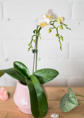 Phoebe - Petite Phalaenopsis Orchid & Cache-Pot Combo