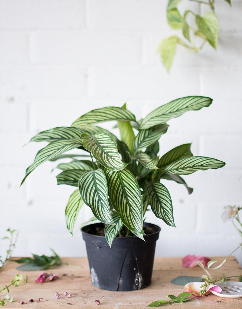 Marantaceae Calathea vittata