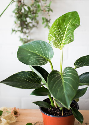 Philodendron Philodendron - Birkin