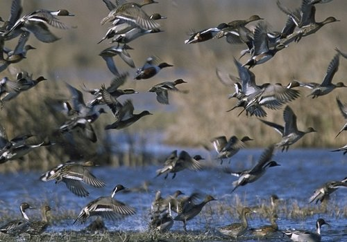 Waterfowl Calls