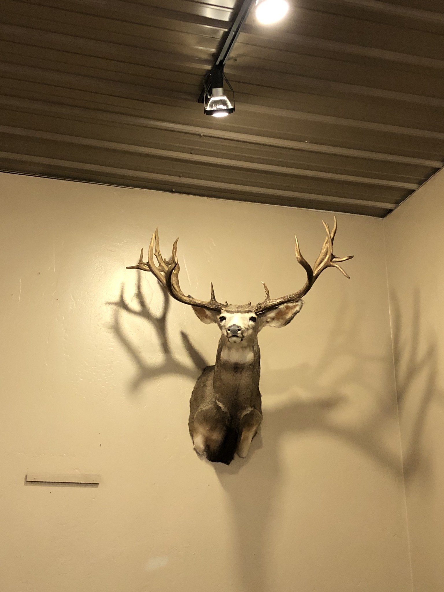 Fish Mule Deer Cast Antler Mount