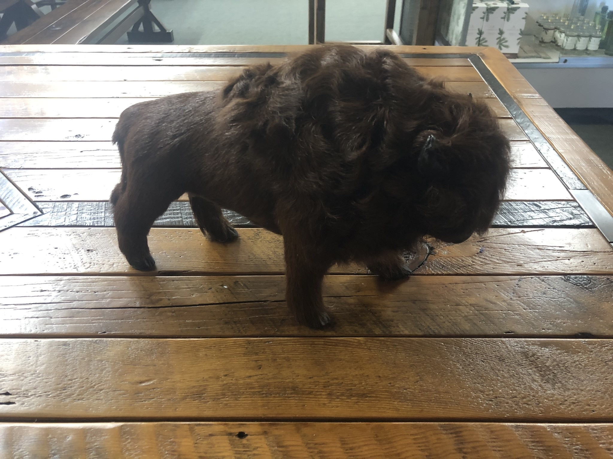 Gaucho Buffalo - Large