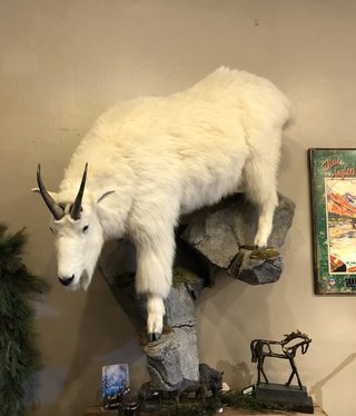 Fish Life Size Mountain Goat (Record Book)