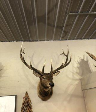 Fish 6x6 Elk Mount