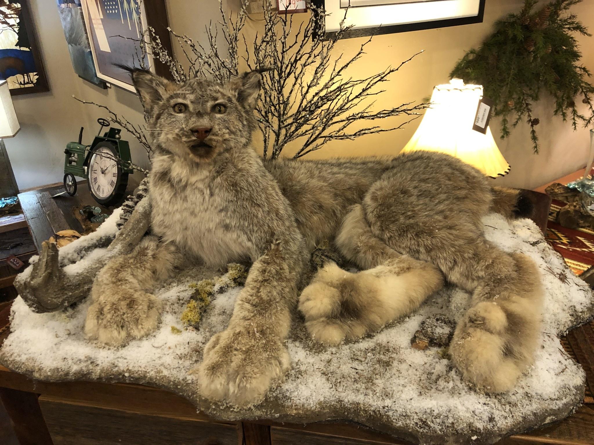 Cedar Hill Taxidermy Life Sized Canadian Lynx