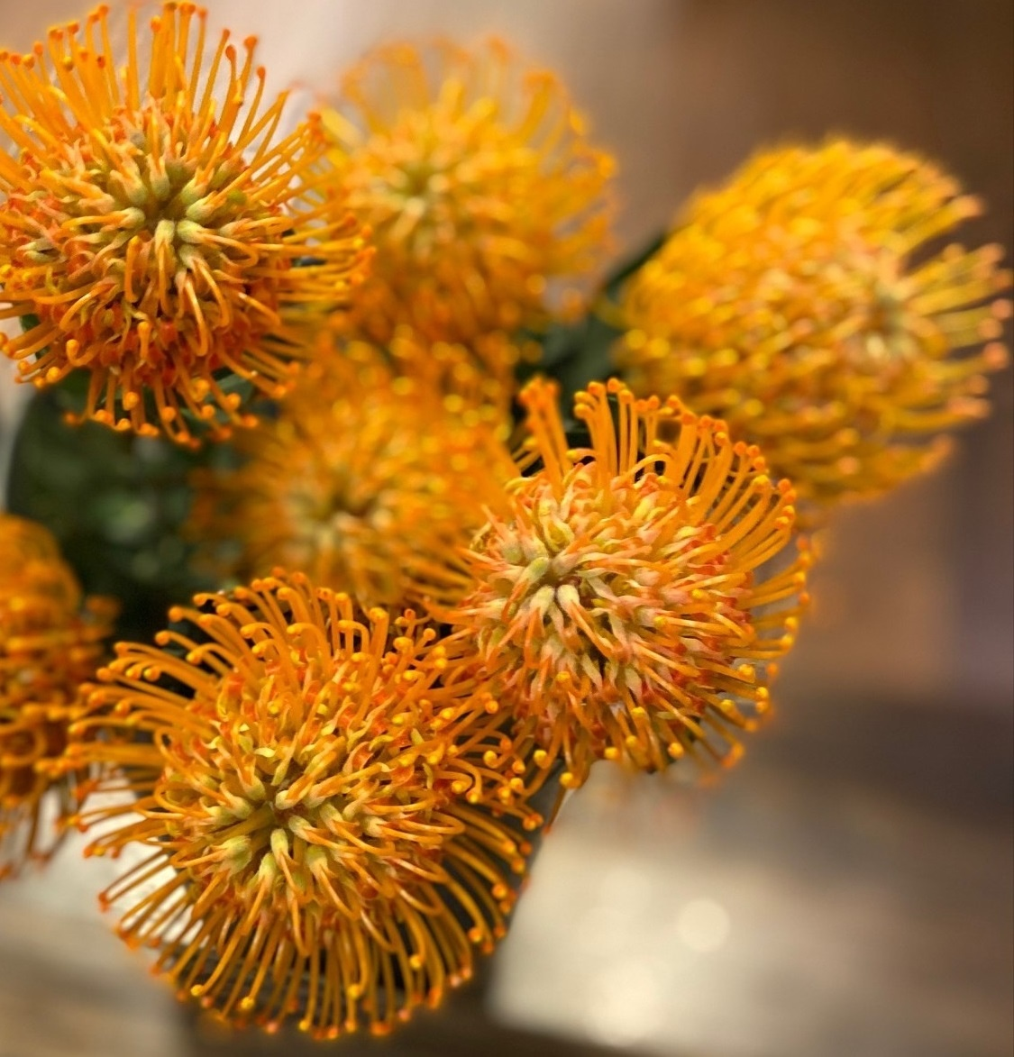 Our Love for Pincushion Protea