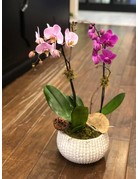 Double Stem Phalaenopsis Orchids