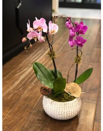 Two Single Phalaenopsis Orchids, Potted Together