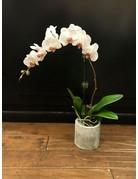 Single Stem Phalaenopsis Orchid