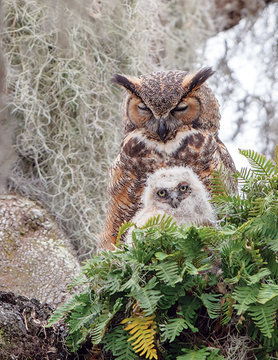 OUTSET MEDIA CH1000 GREAT HORNED OWL