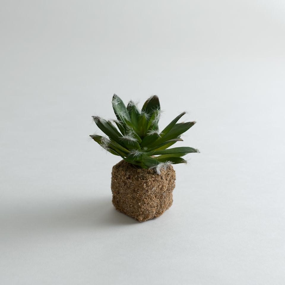 "5.5"" Succulent Drop In Cotyledon"