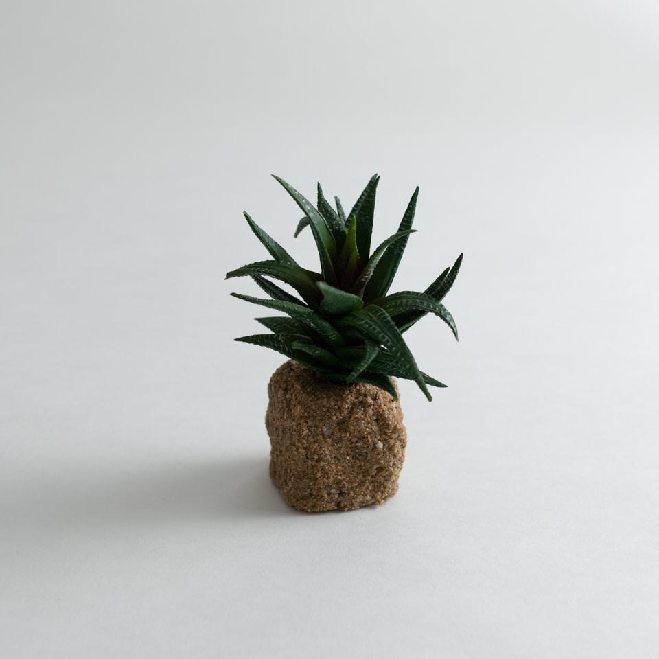 """5.5"""" Succulent Drop In Haworthia"""