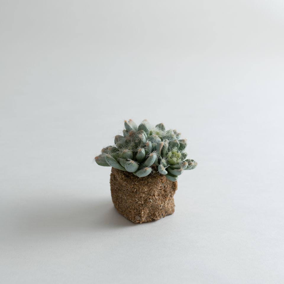 "Succulent Drop In Sempervivum-5.5"""