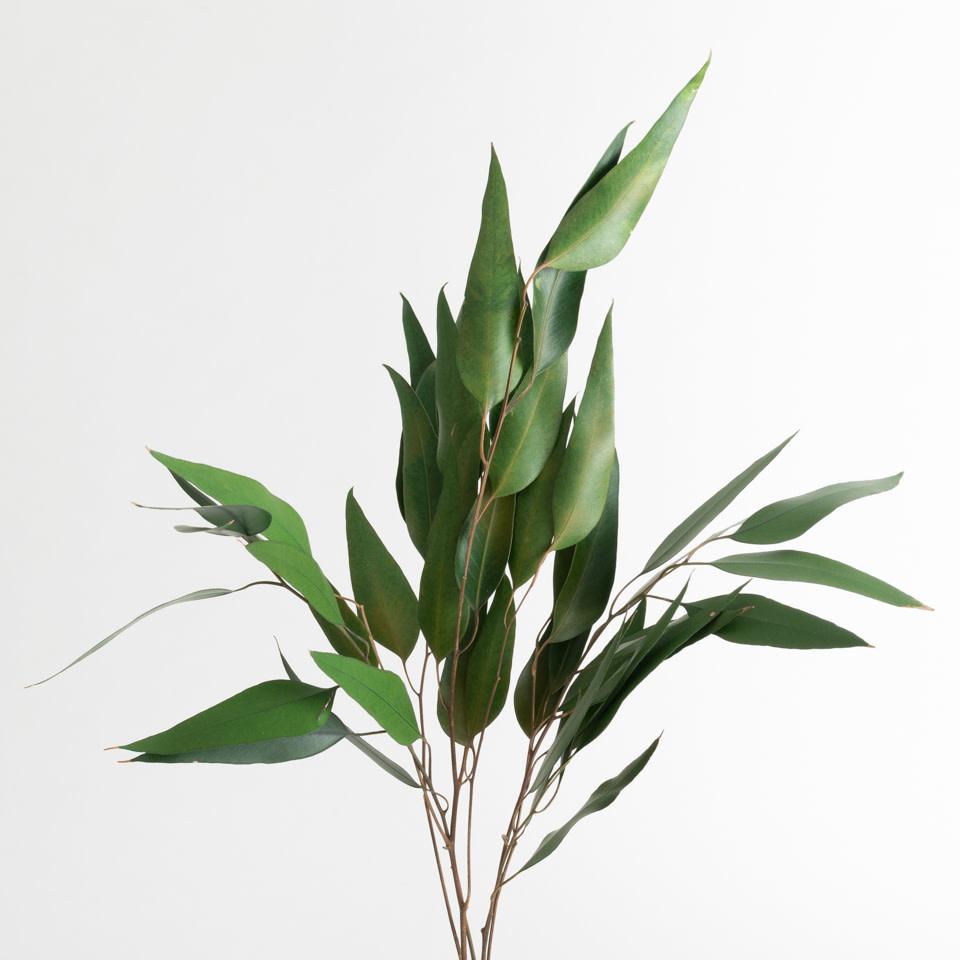 Green Weeping Willow Eucalyptus Foliage
