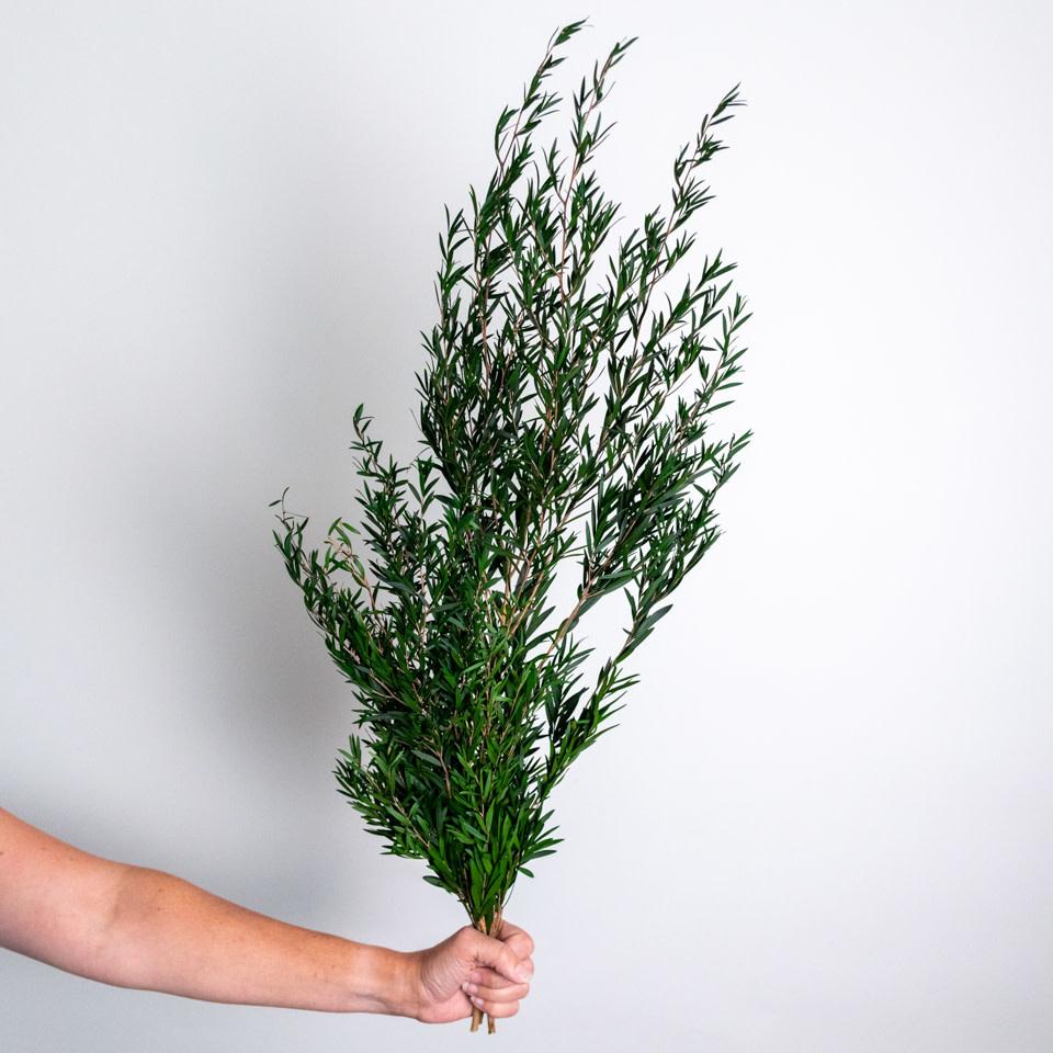 Green Lepto Longifolia Bundle