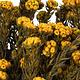 Aspen Gold Cotton Phylica Flower Bundle