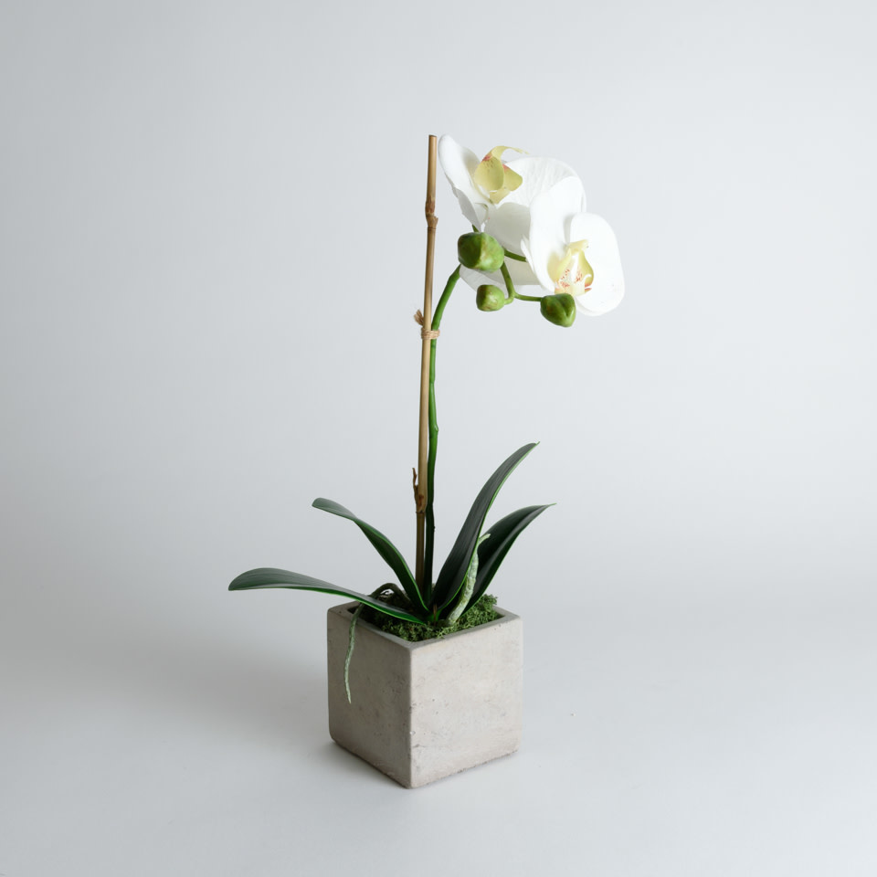 Phalaenopsis Drop In-15""