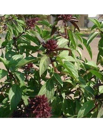 Ayush Herbs Basil Oil 6 oz by Ayush Herbs