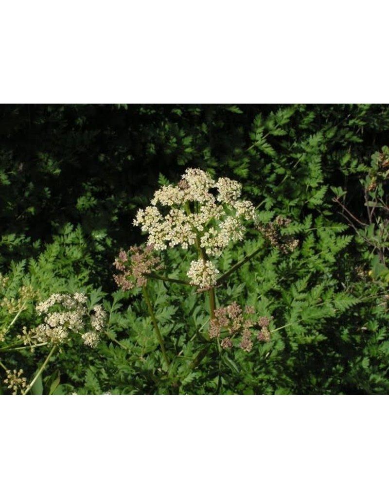 Osha / Bear Root herb / Ligusticum porteri 1 oz